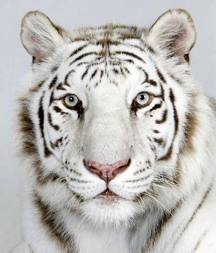 ホワイトタイガーに襲われた飼育員・古庄晃さん!なぜ襲われたのか?のサムネイル画像