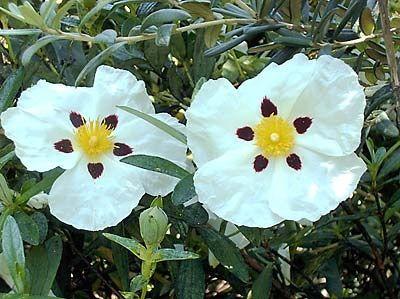 「ゴジアオイ」とはどんな花?植物界のサイコパスといわれる理由は?のサムネイル画像